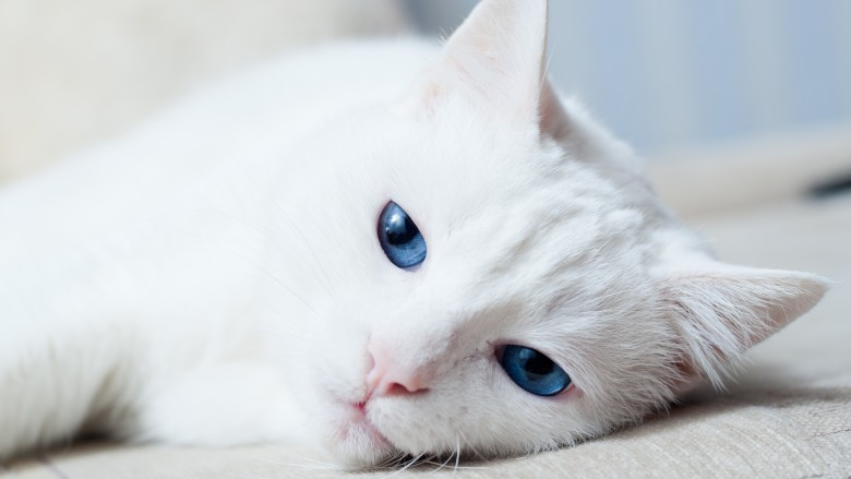 Blue Eyed Cats Are They Deaf