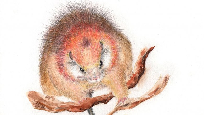 A red-crested tree rat