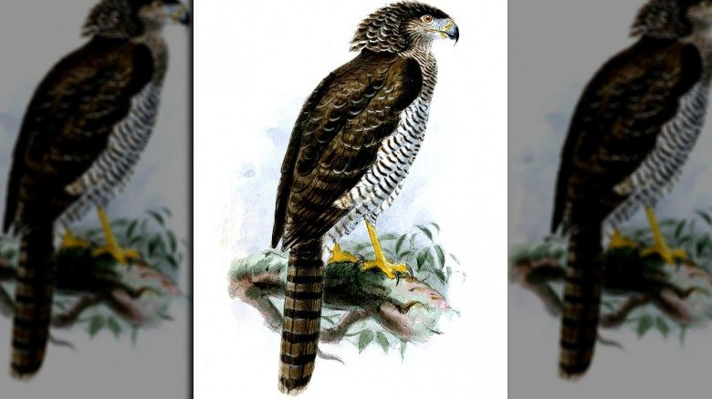 A Madagascar serpent eagle