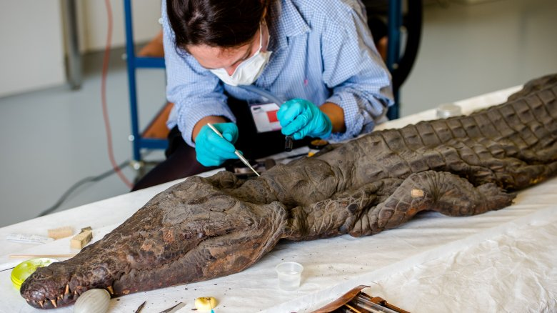crocodile mummy