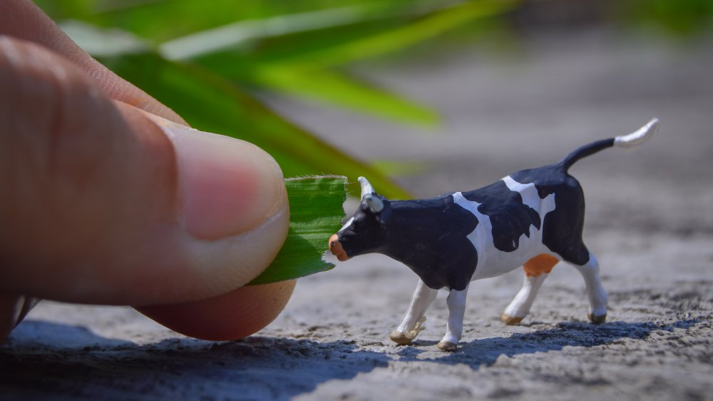 very small cow