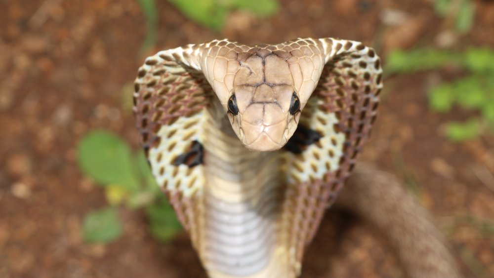 Indian cobra, front view