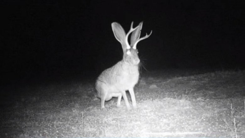 Jackalope: The truth behind the world's scariest rabbit