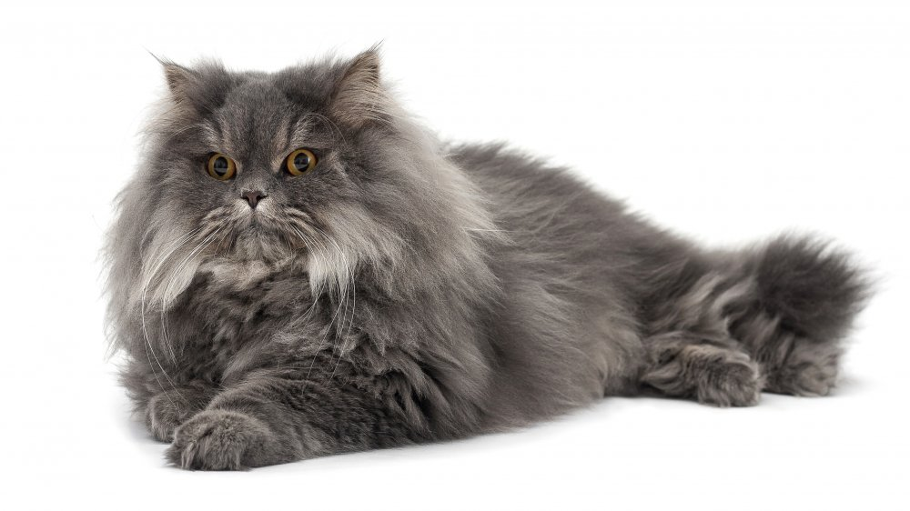 The calmest cat breed in the world