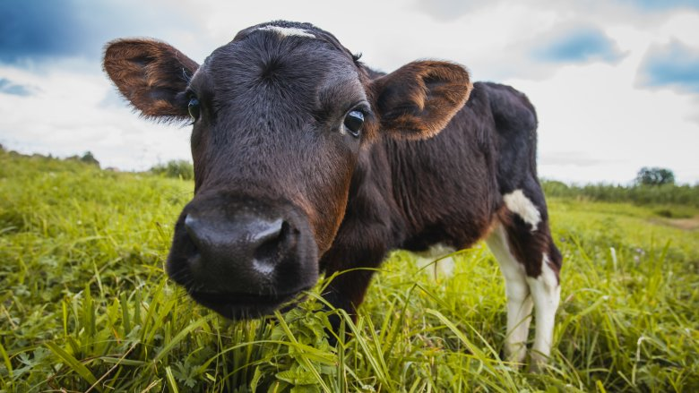 the real reason cows moo and cool cow facts