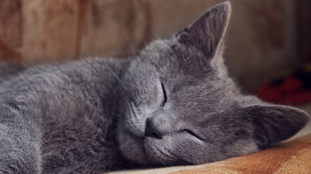 The real reason your cat is twitching in its sleep
