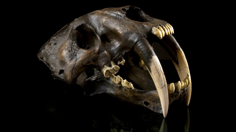 The reason saber-toothed tigers went extinct